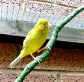 canary on a branch
